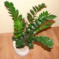 How to Save a Zamioculcas Plant
