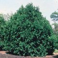 How to Prune an Emerald Green Arborvitae