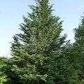 How to Make a Leyland Cypress Grow Fast