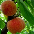 What Should Peach Trees Be Sprayed With to Prevent Insects?