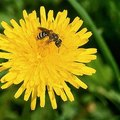 How to Control Sweat Bees