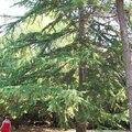 How to Remove a Cedar Tree