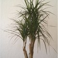 Dragon Tree Plant Care