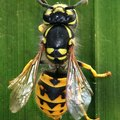 Does Hairspray Kill Wasps?