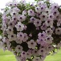How to keep Petunias looking great