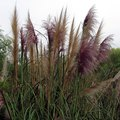 How Fast Does Pampas Grass Grow?