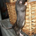 Natural Ways to Get Rid of Rats