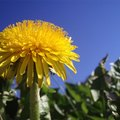 Dandelion Flower Facts