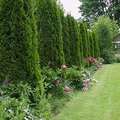 How to Space a Privacy Fence Using Arborvitae Pyramidalis