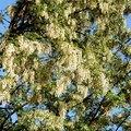 Lilac Tree Information