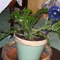 How to Root A Christmas Cactus House Plant