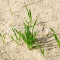 What Grass Grows Best in Sand?