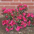 How to Care for Azalea Bushes