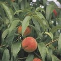 The Best Fruit Trees for Kansas