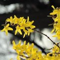How to Identify Spring Flowering Trees in Wisconsin