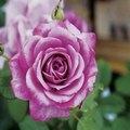 Names of Purple Roses