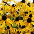 When to Move Black Eyed Susans