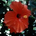 Difference Between a Hardy Hibiscus and Tropical Hibiscus