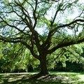 Maple Tree Vs. Oak Tree