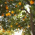 How Are Oranges Harvested?