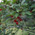 How to Identify Edible Berry Trees in Pennsylvania