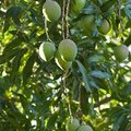 When to Fertilize Mango Trees