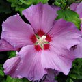 When to Fertilize the Rose of Sharon
