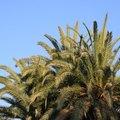 Robellini Palm Diseases