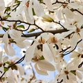 How to Identify a White Flowering Tree