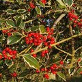 When Does a Holly Tree Get Berries?