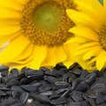 What Animals Eat Sunflower Seeds?
