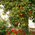 The Best Fruit Trees to Grow in Southern California