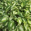 Hosta Varieties in Florida