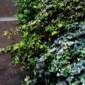 The Best Way to Transplant Ivy Plants