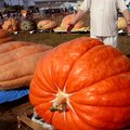 How to Grow Large Pumpkins With Sugar Water