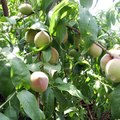 The Best Fruit Tree to Grow in Atlanta
