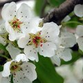 What Is the Meaning of the Pear Blossom?