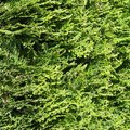 How to Care for Cryptomeria