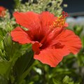 What Plant Is Most Similar to the Hibiscus?