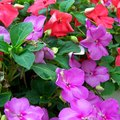 How to Help Impatiens That Are Not Blooming