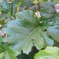 When to Dig Elephant Ears