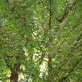 How & When to Prune & Shape Norway Maple Trees