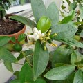 Why Lemon Fruit Falls After Flowering