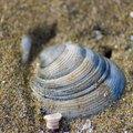 How Do Clams Produce Their Shells?