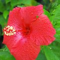 Animals That Eat Hibiscus Plants