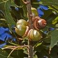 What Eats Oak Trees?