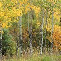 Differences Between Aspen Tree & Quaking Aspen Tree