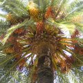 Uses of Date Palm Trees