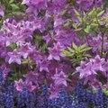 How to Care for an Azalea Tree