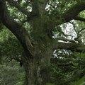 Oak Tree Adaptations